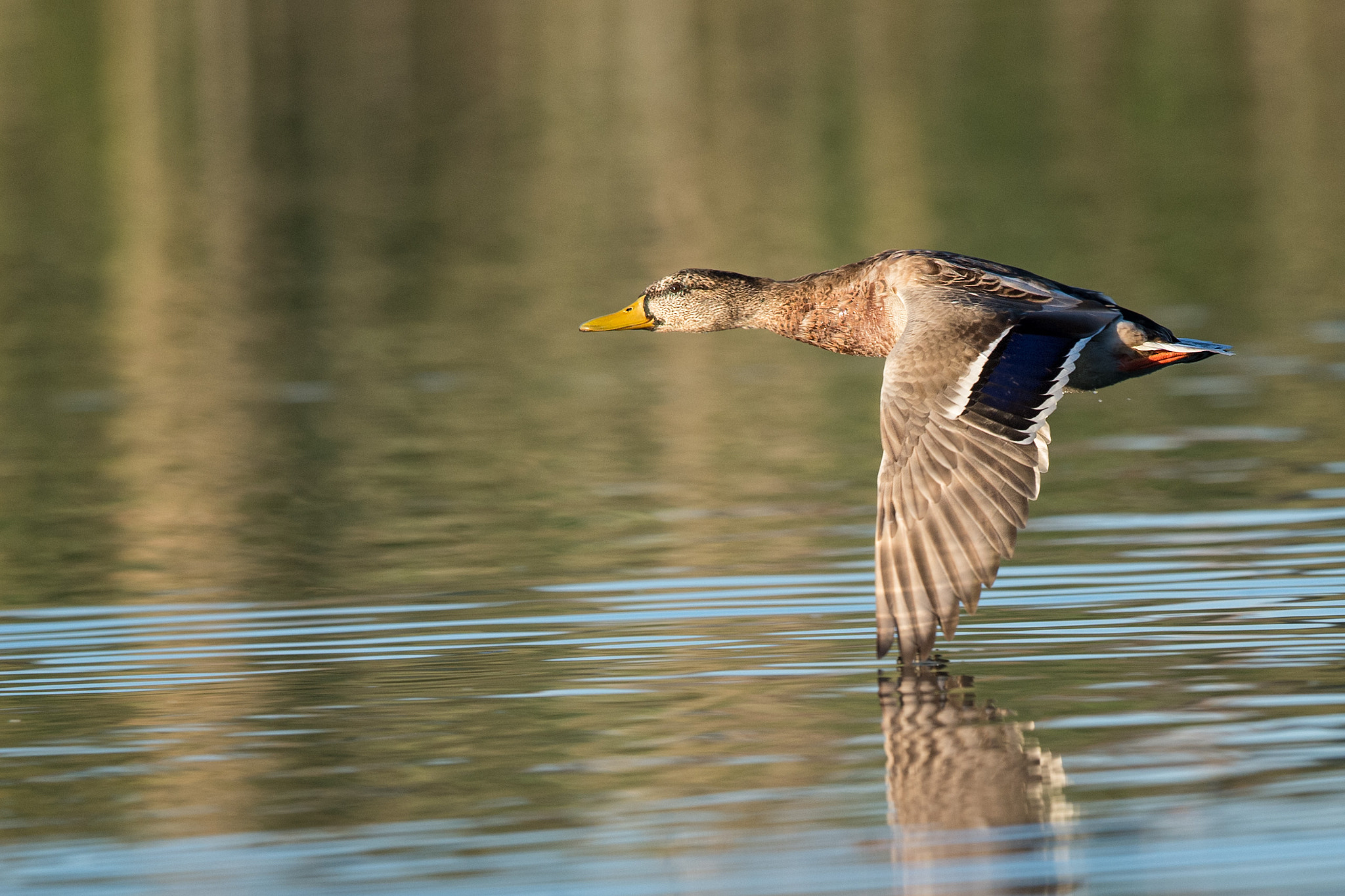 Photograph Fliegende Ente | Flying duck (2a) by Franz Engels on 500px