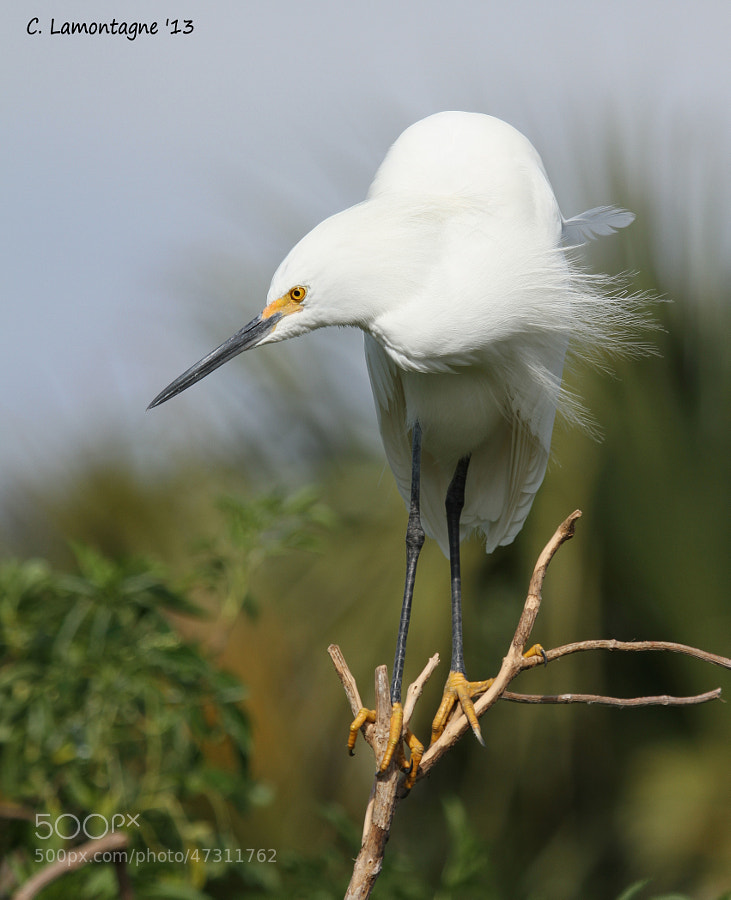 This Snowy Egret was keeping an eye on another who was getting a little too close to his territory.