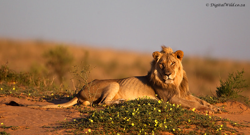 Photograph Kalahari Lion by Hendri Venter on 500px