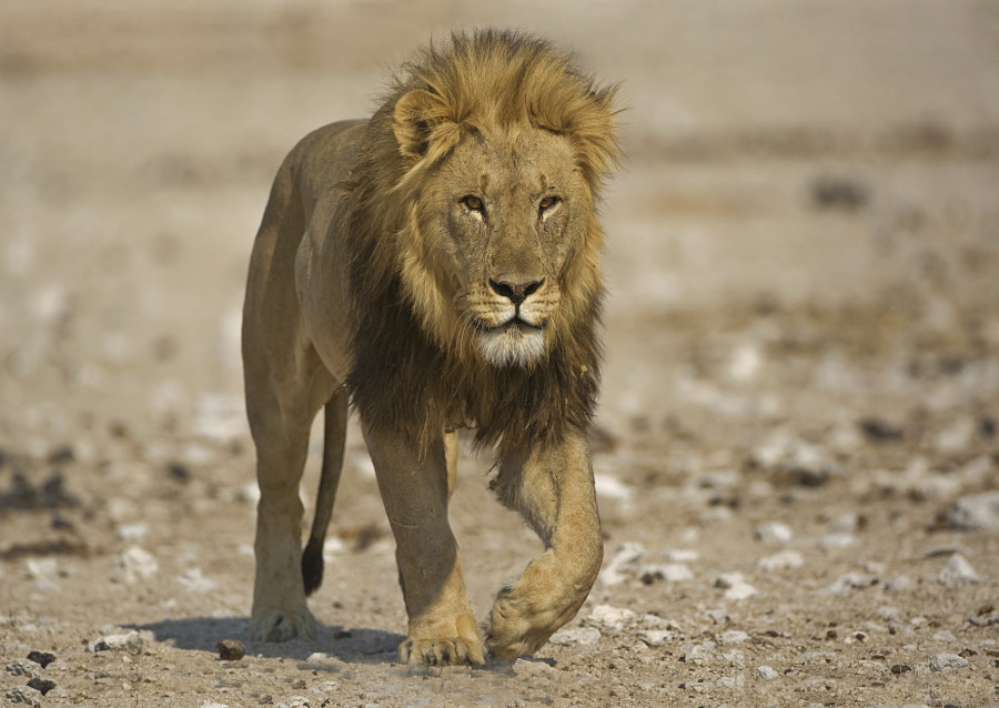 This Male Lion was walking towards Gemsbokvlakte waterhole , in Etosha, Namibia, to join up with his females