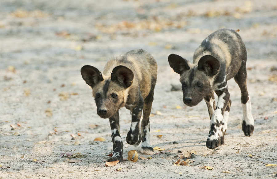 Taken in Mapula concession, Botswana, part of a very large pack we spent many days with.