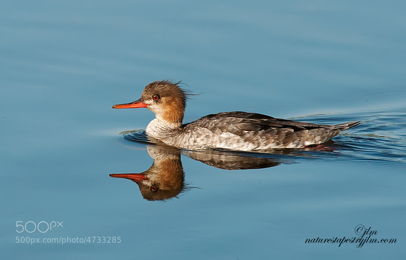This is an image of a red breasted merganser.  The female is much lighter in color.  We were fortunate that they came quite close to shore and that the waters were very still.