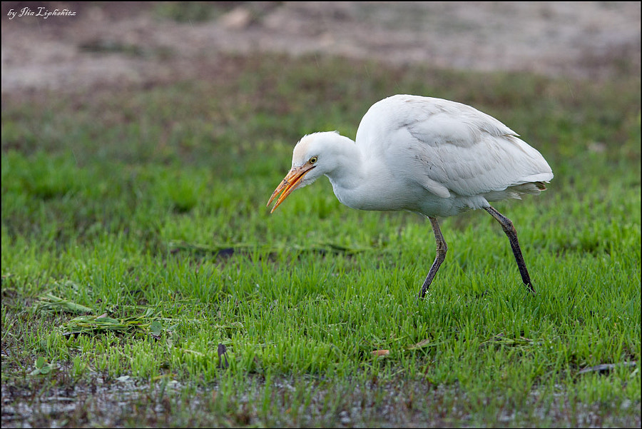 Cattle Egret looking for some food