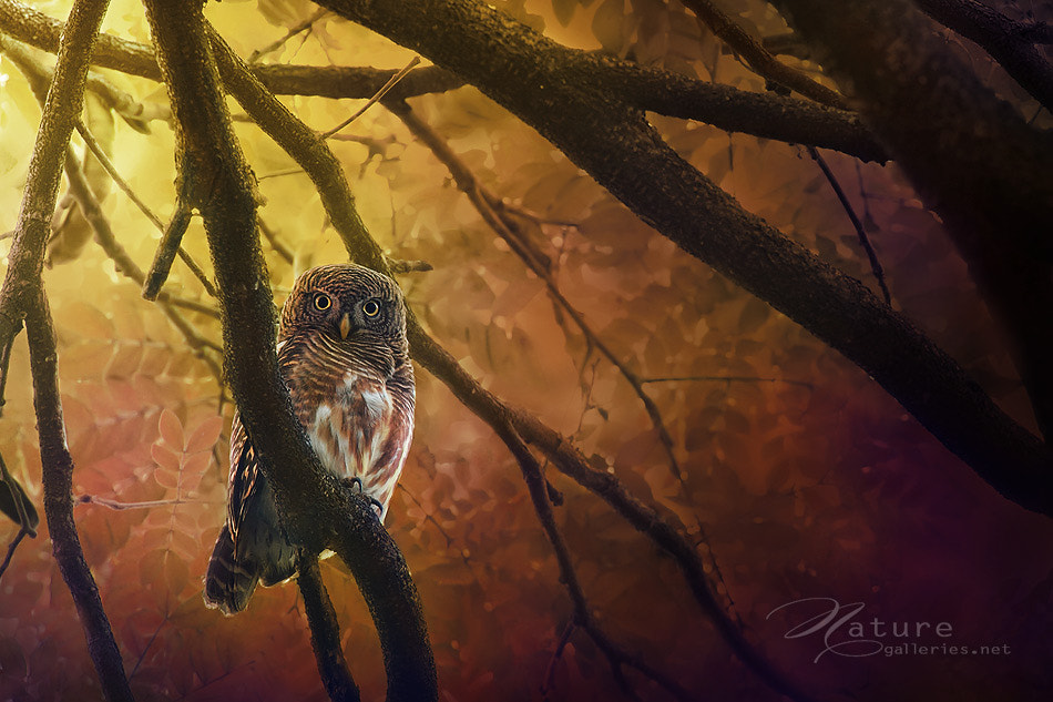 Photograph Asian Barred Owlet by Sasi - smit on 500px