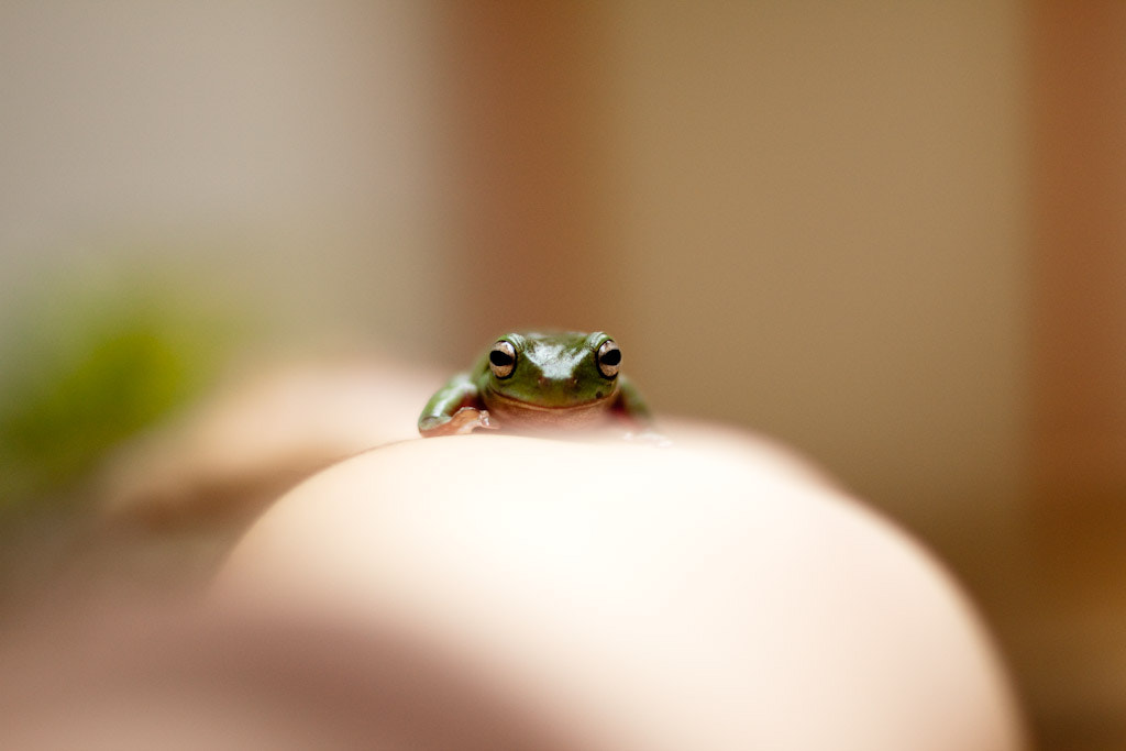 Photograph Green Tree Frog by Andrew Prawiro on 500px