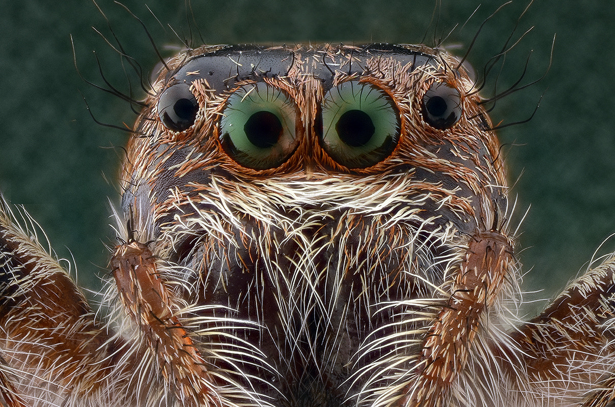 Photograph Jumping Spider by Yudy Sauw on 500px