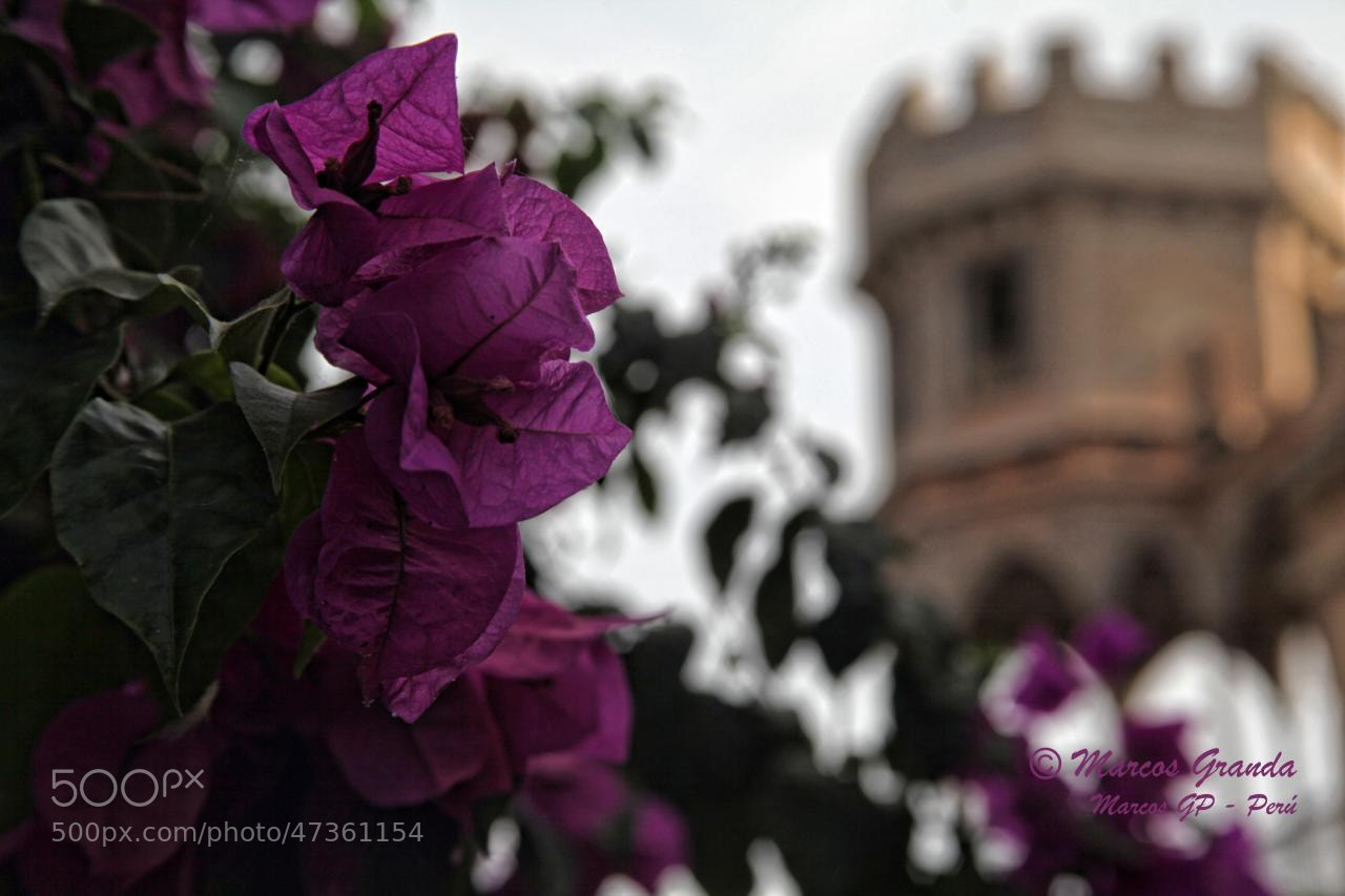 Photograph Buganvillas en el Castillo by Marcos  Granda P. on 500px