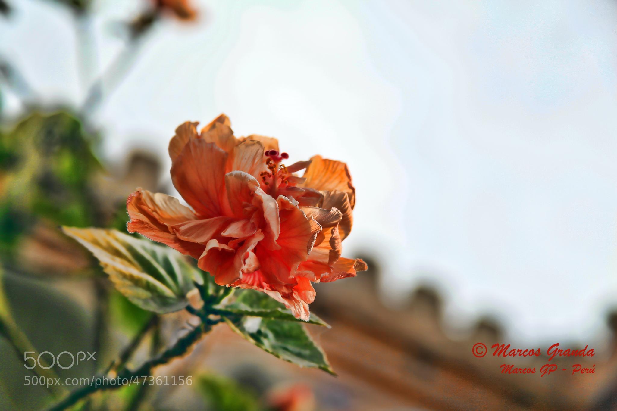 Photograph Flor en alza by Marcos  Granda P. on 500px