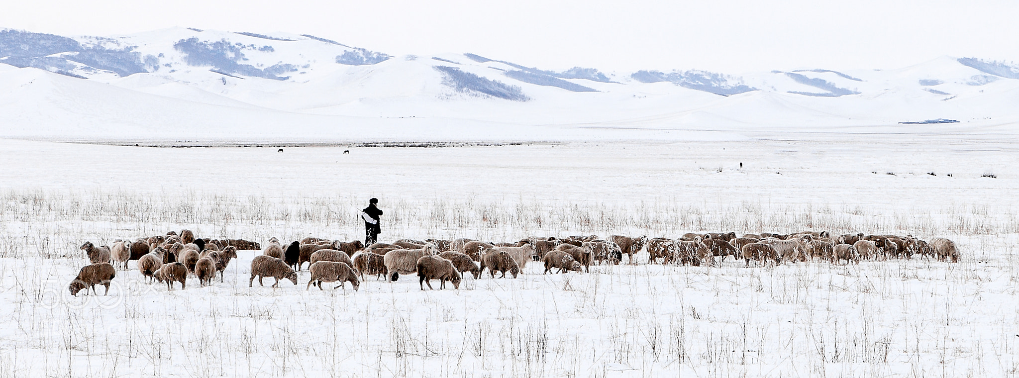 Photograph The lonely shepherd by qing yue on 500px