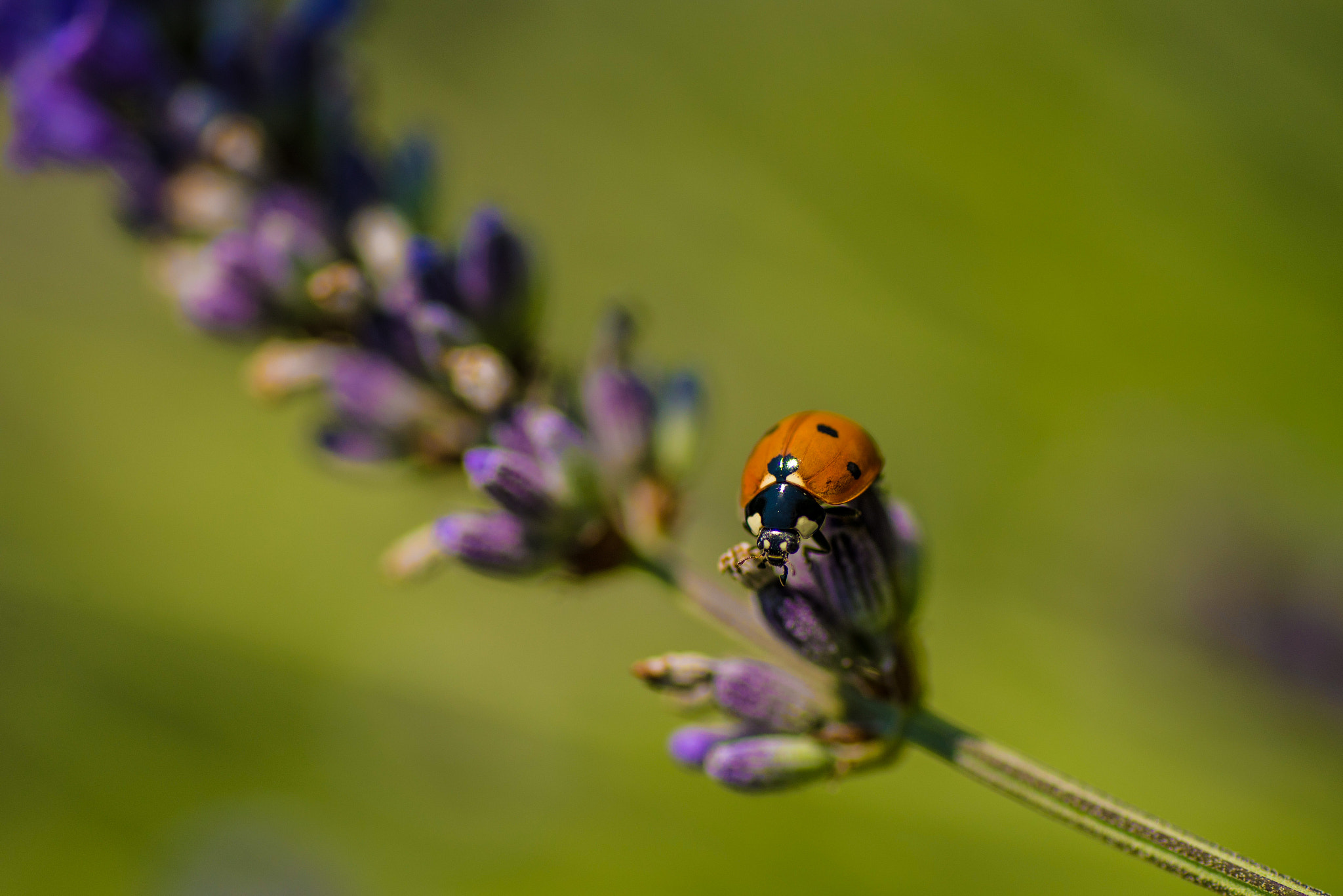 Photograph ladybug (01) - on lavender by Vlado Ferencic on 500px
