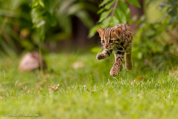 Levitating Leopard Cat