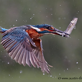 A Kingfisher in flight carrying a fish dripping with water.
