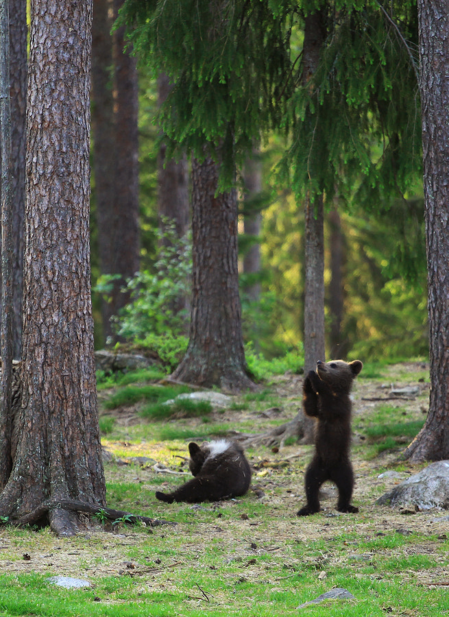Oh, lord of the bears ... by Valtteri Mulkahainen on 500px.com