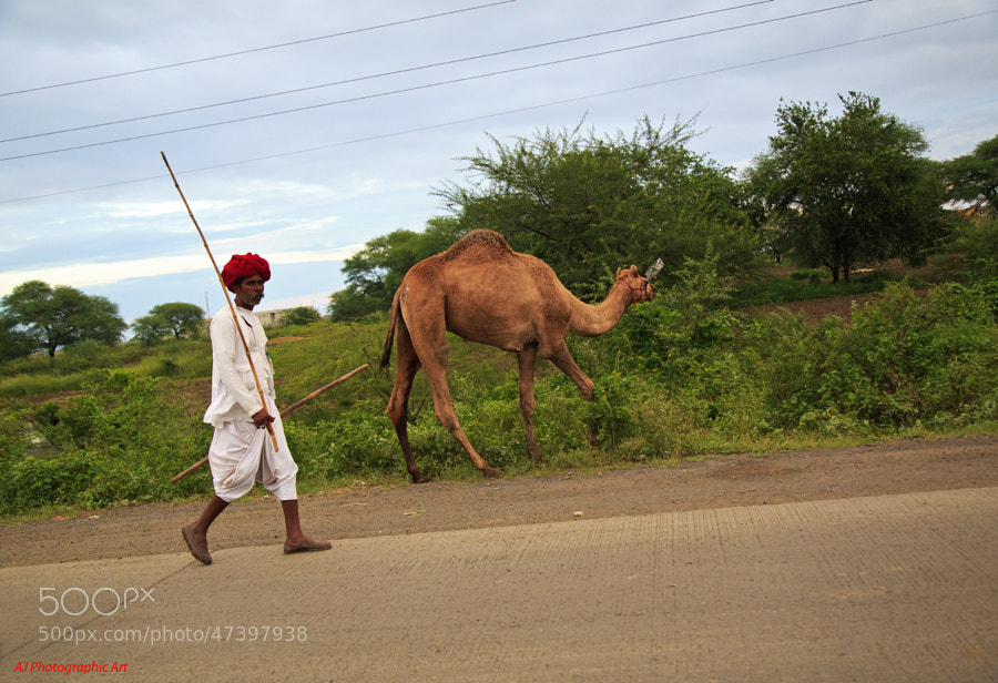 Digital color image of camel herder along a roadside in Dewas India.