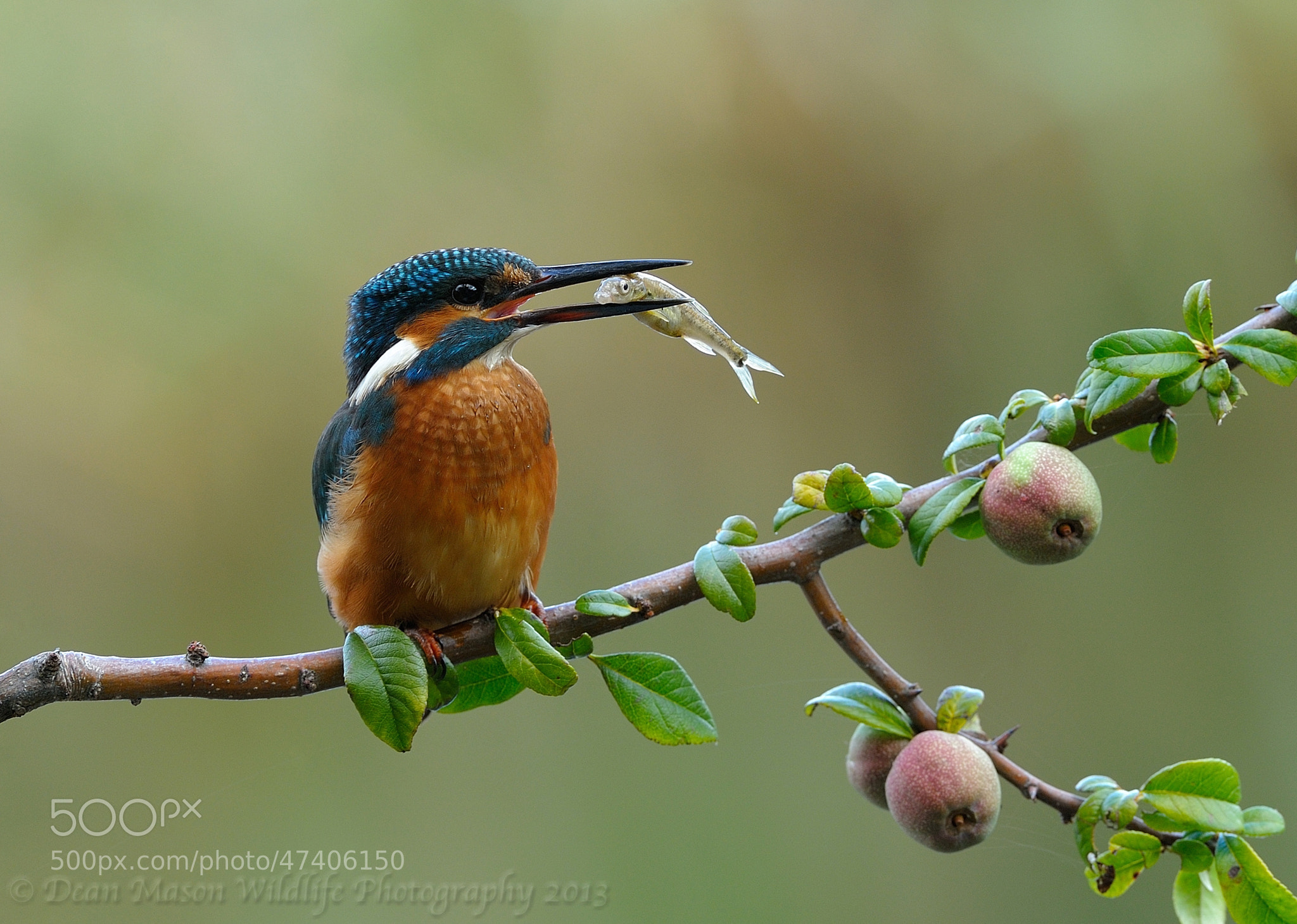 Photograph Kingfisher & Meal ! by Dean Mason on 500px