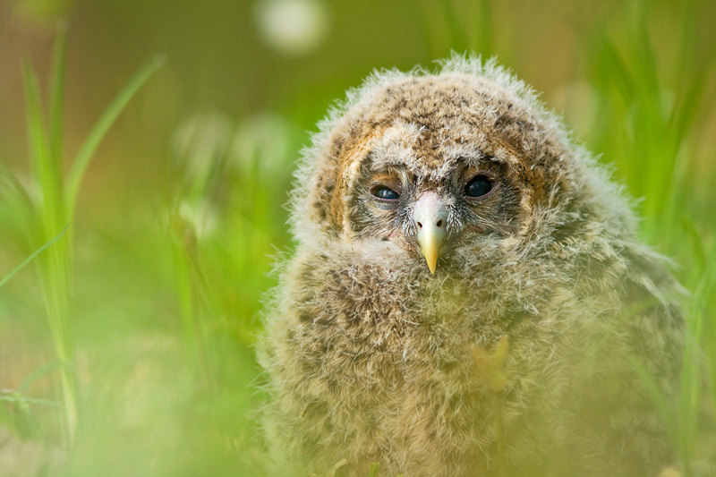 Photograph Ural owl chick. by Marc Graf on 500px