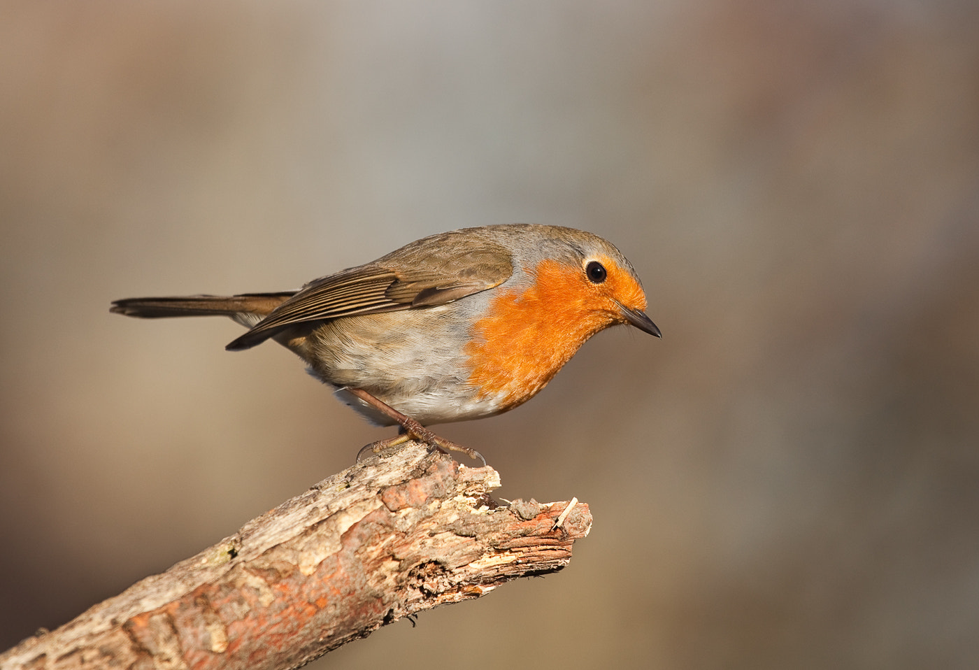 Photograph Robin by Phil Horton on 500px