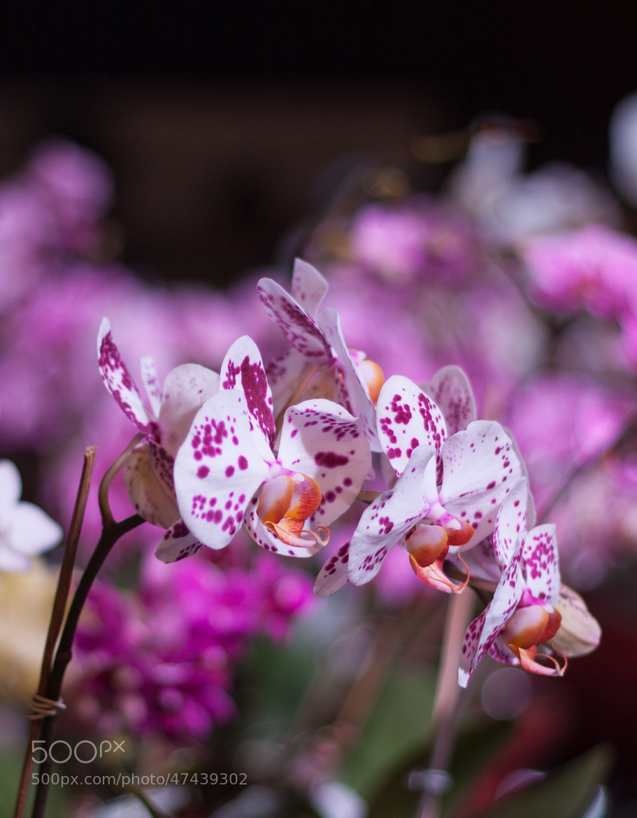 Photograph Orchid by Puneet Bhatia on 500px