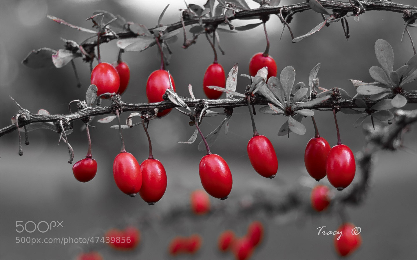 Photograph Barberries by Tracy Thing on 500px
