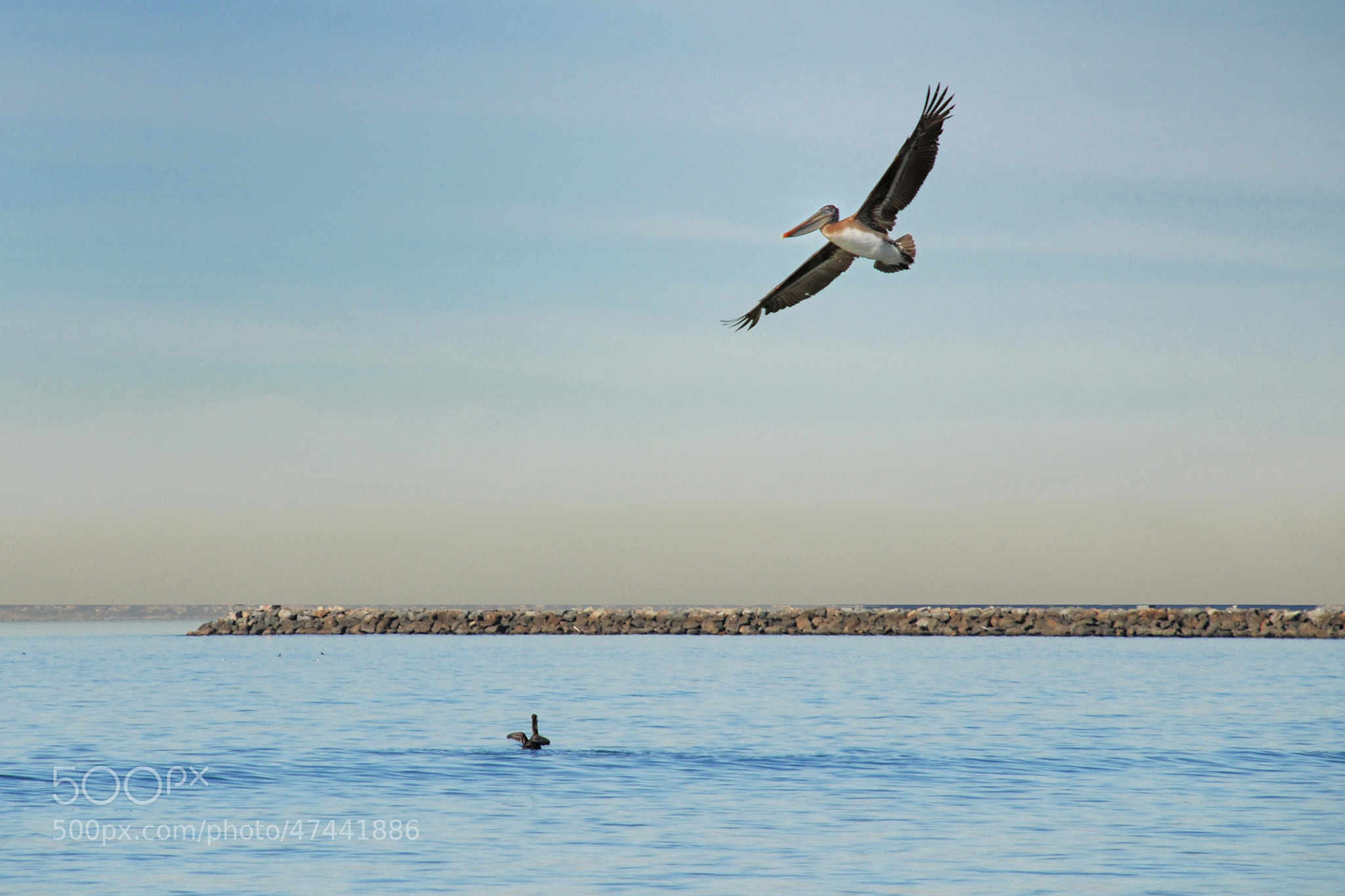 Photograph Pelicans by Howard Bond on 500px