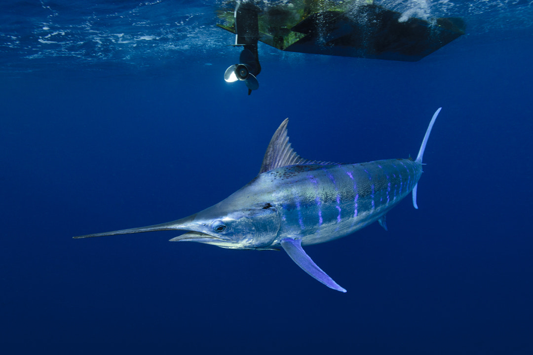 Photograph Blue Marlin hunting by Scott Portelli on 500px