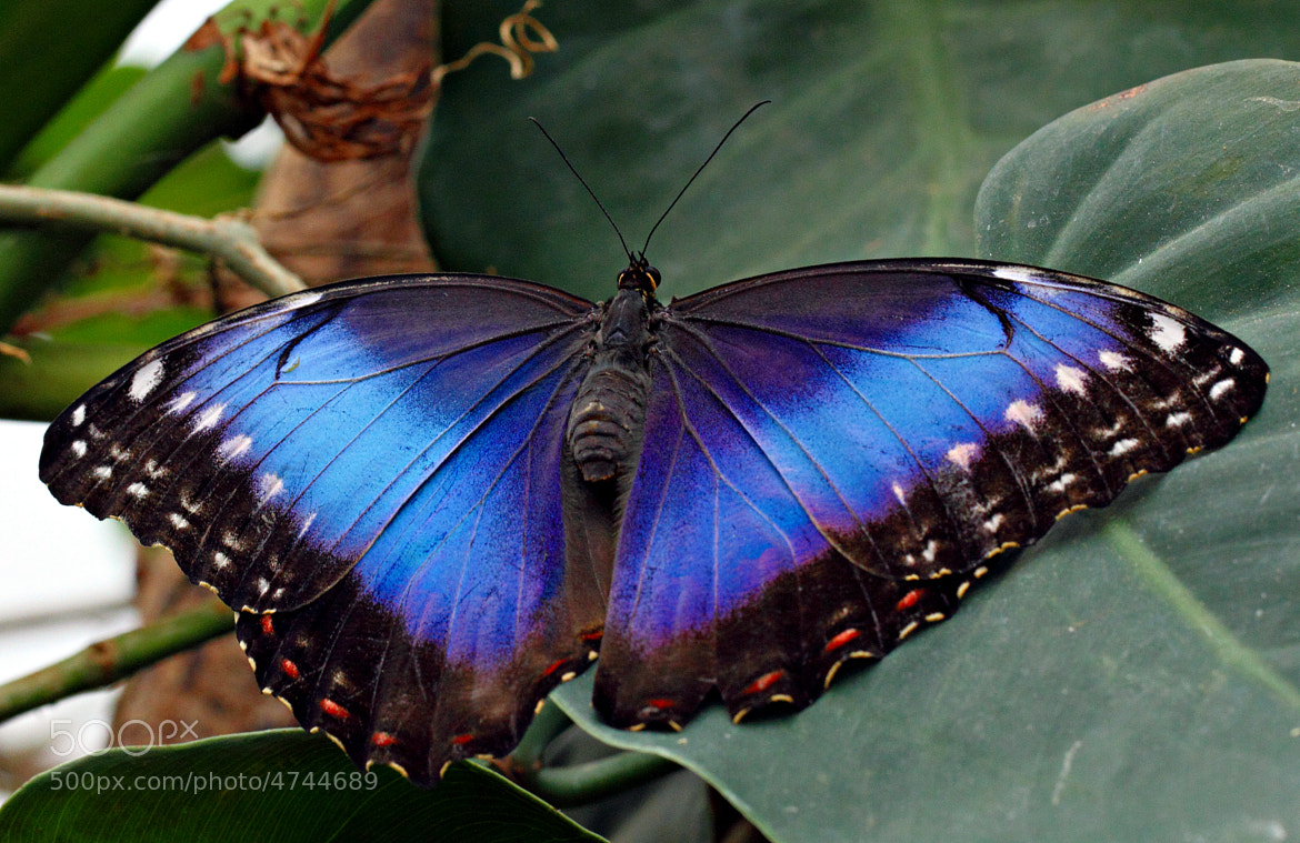 Photograph Blue Morpho by Tatyana Druz on 500px