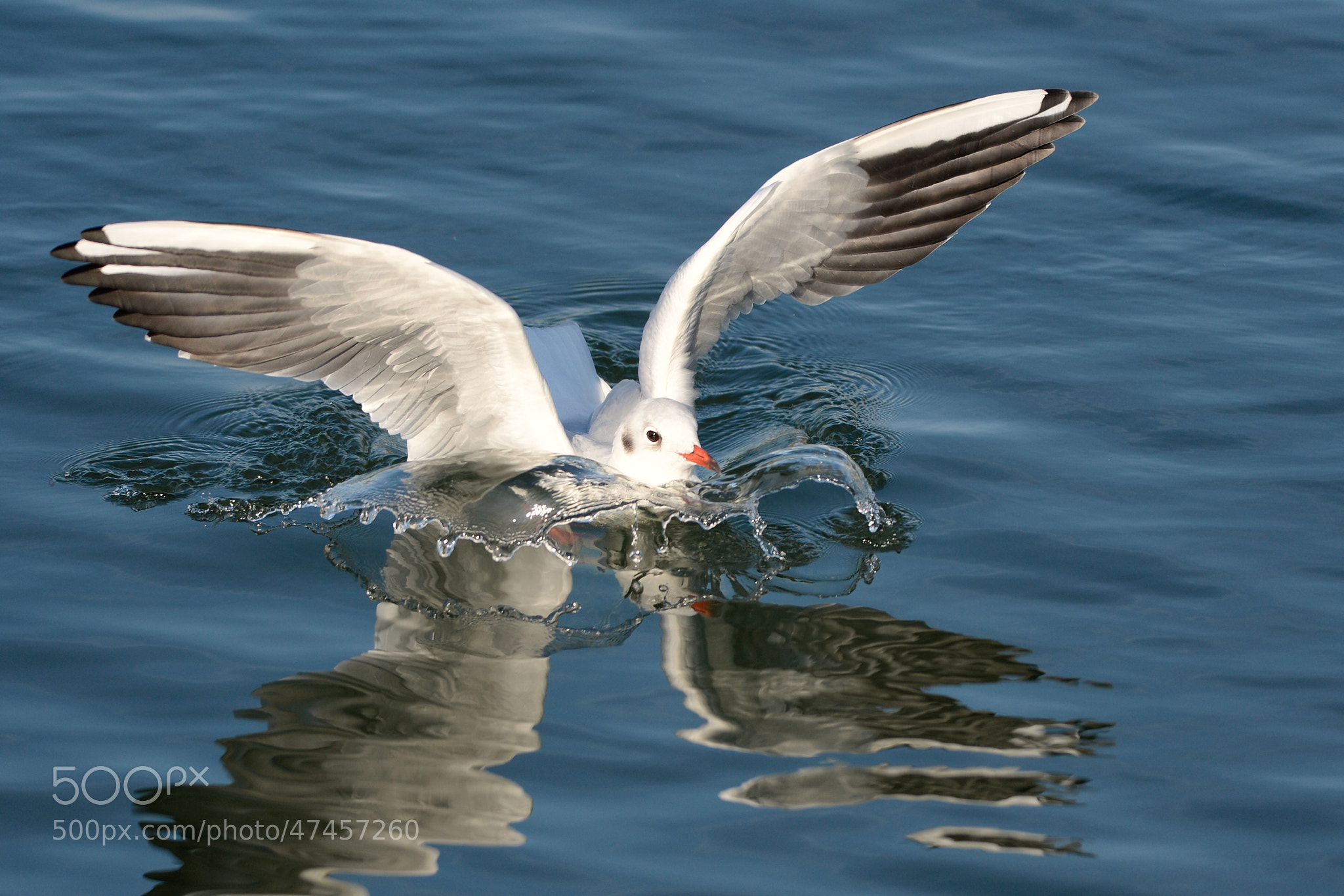 Photograph Landende Möwe | Landing seagull by Franz Engels on 500px