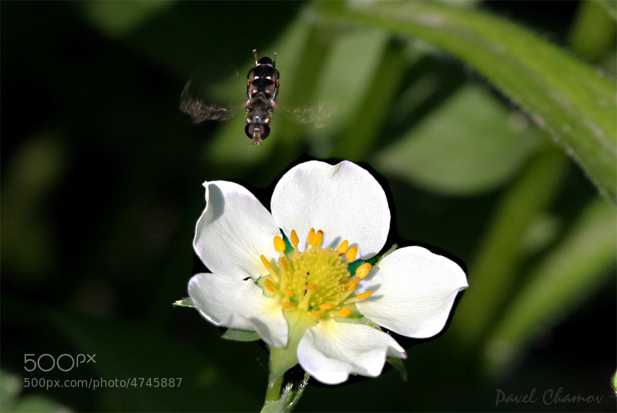 Photograph Bee by Pavel Chamov on 500px