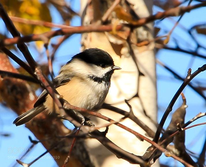 Photograph Chickadee by sunshine_41 on 500px