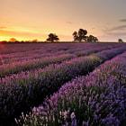 Sunrise over a beautiful field of Lavender.