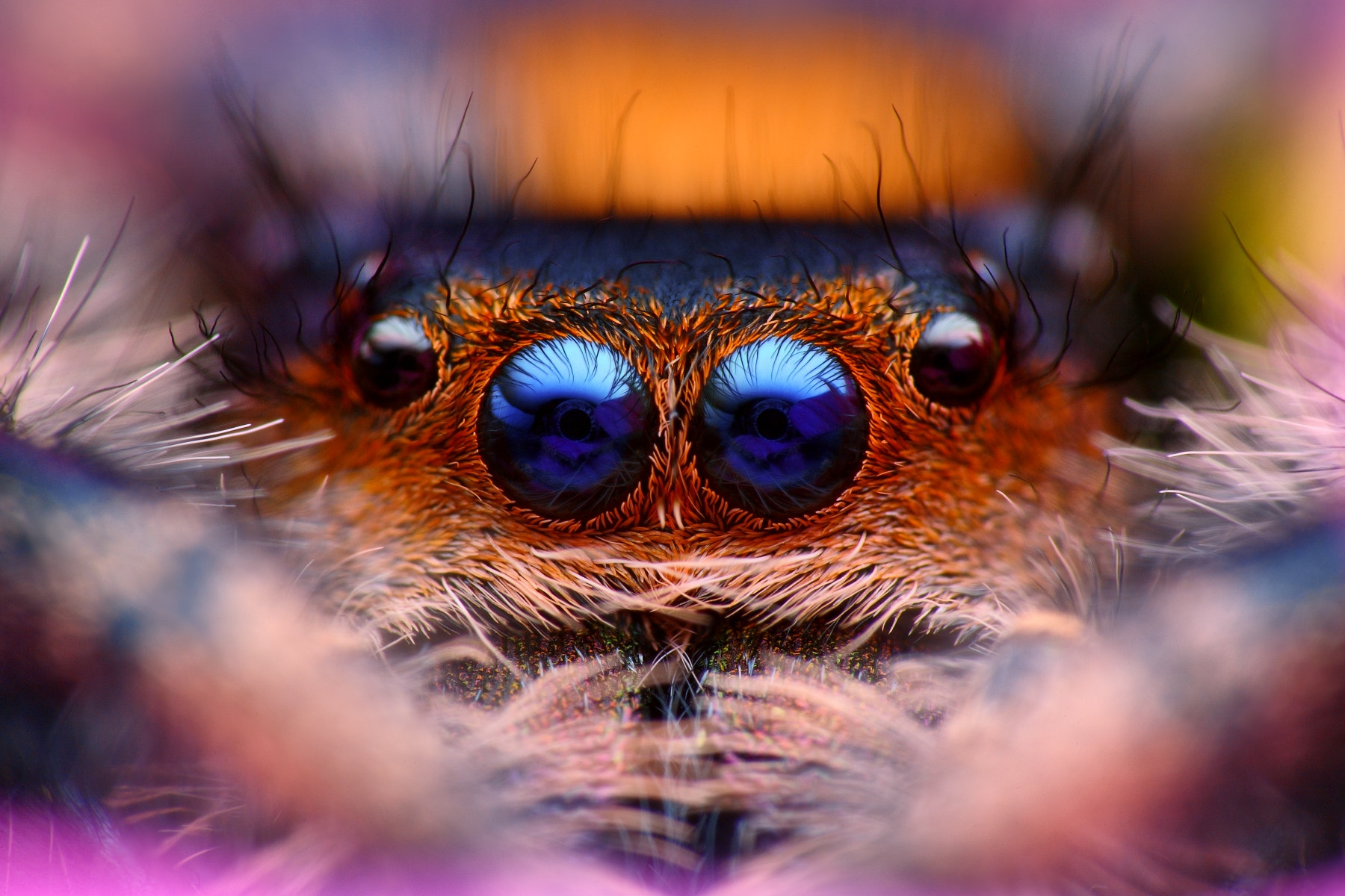 Photograph Hypnotic (Phidippus regius) by Tomas Rak on 500px