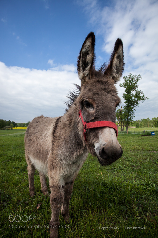 Photograph donkey by Peter Jot on 500px