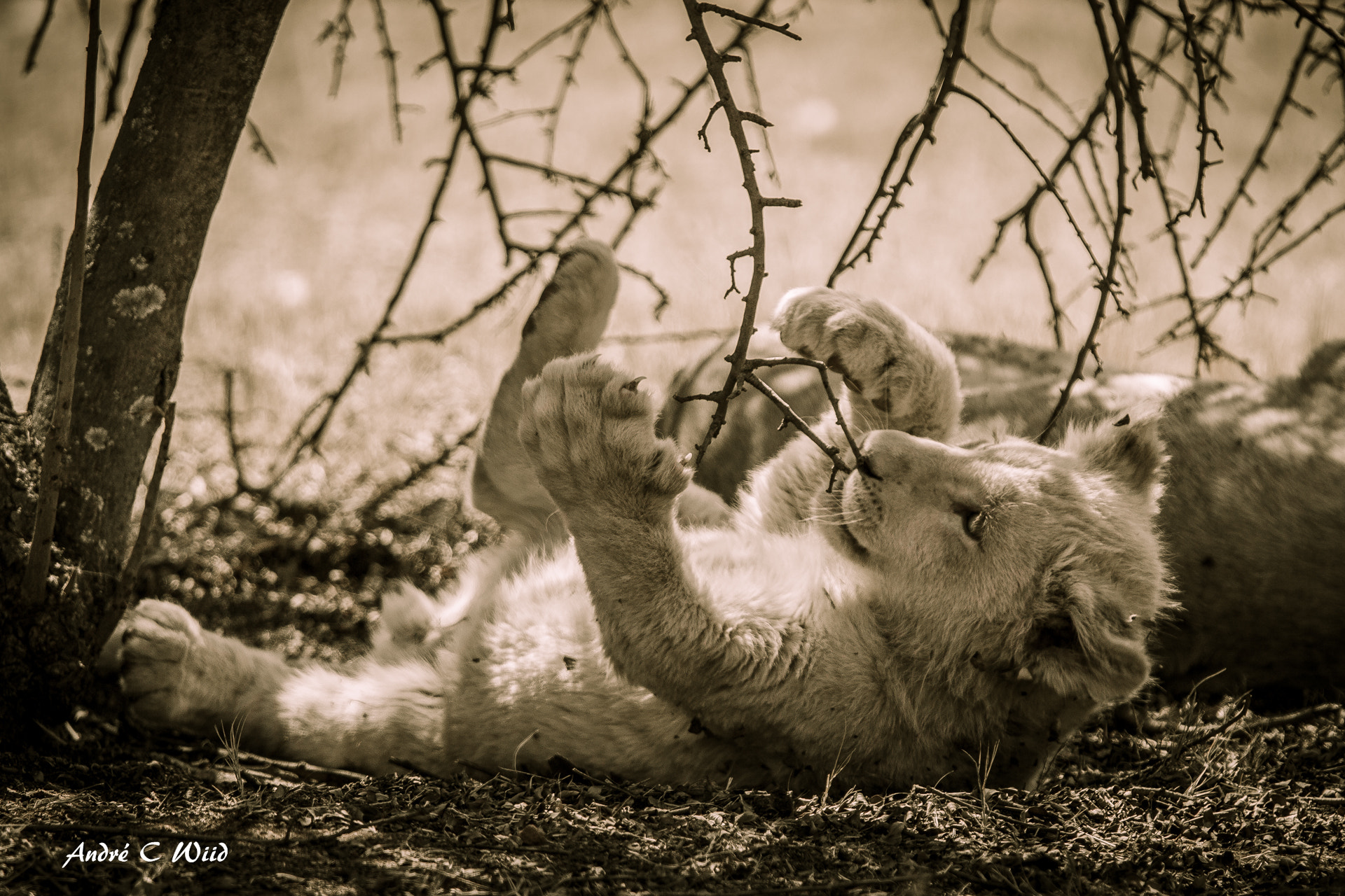 Photograph Playful Cub by Andre Wiid on 500px
