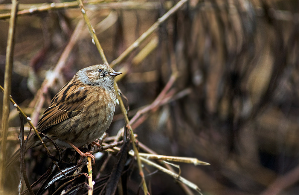 Photograph Dunnock Looking up by Barry Hunter on 500px
