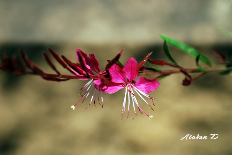 Photograph Pink by Atakan Divitlioğlu on 500px