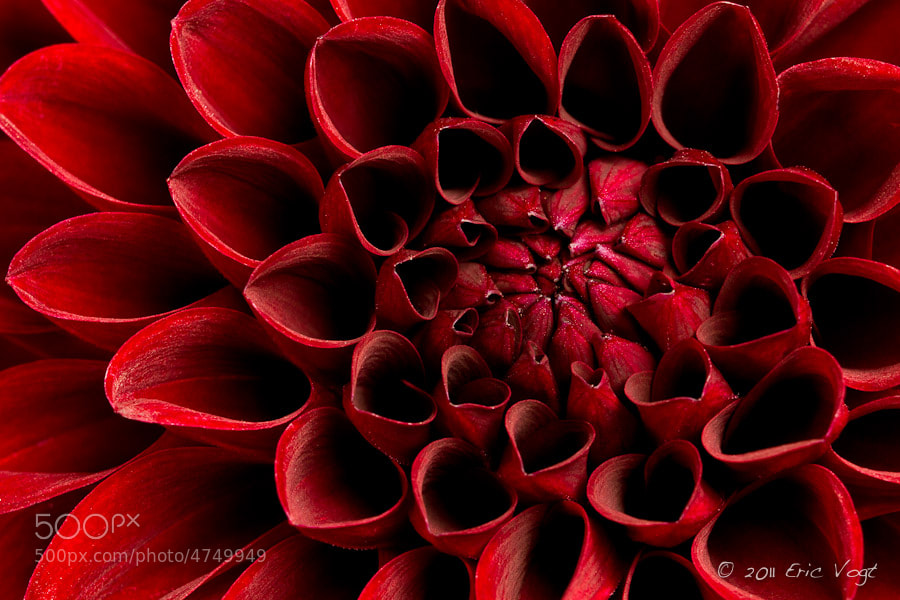 Photograph Red Dahlia by Eric Vogt on 500px
