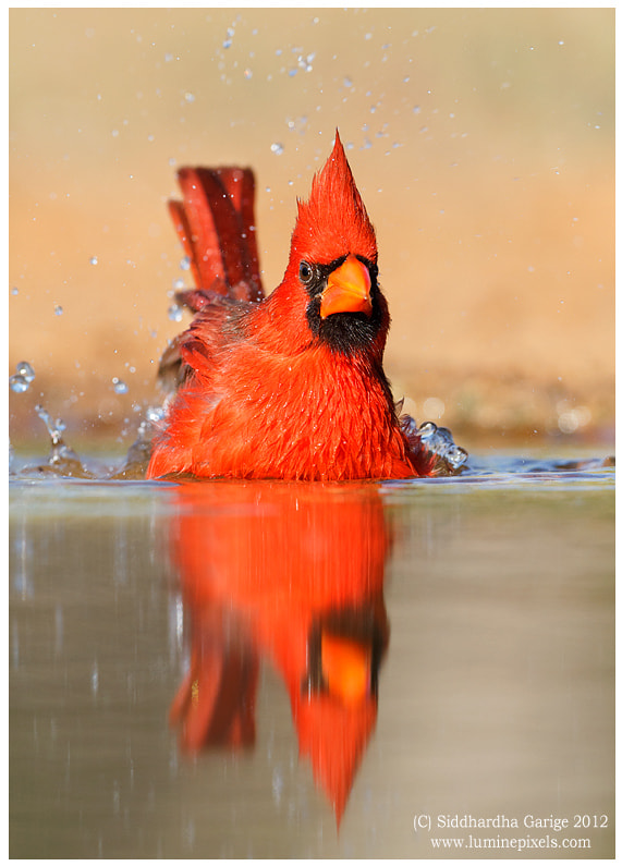 Photograph Northern Cardinal by Siddhardha Garige on 500px