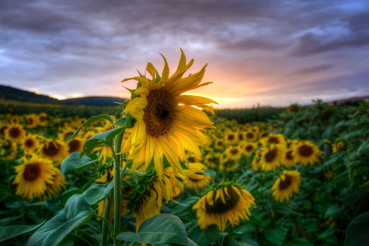 Photograph Sunflowers by Steffen Gierok on 500px