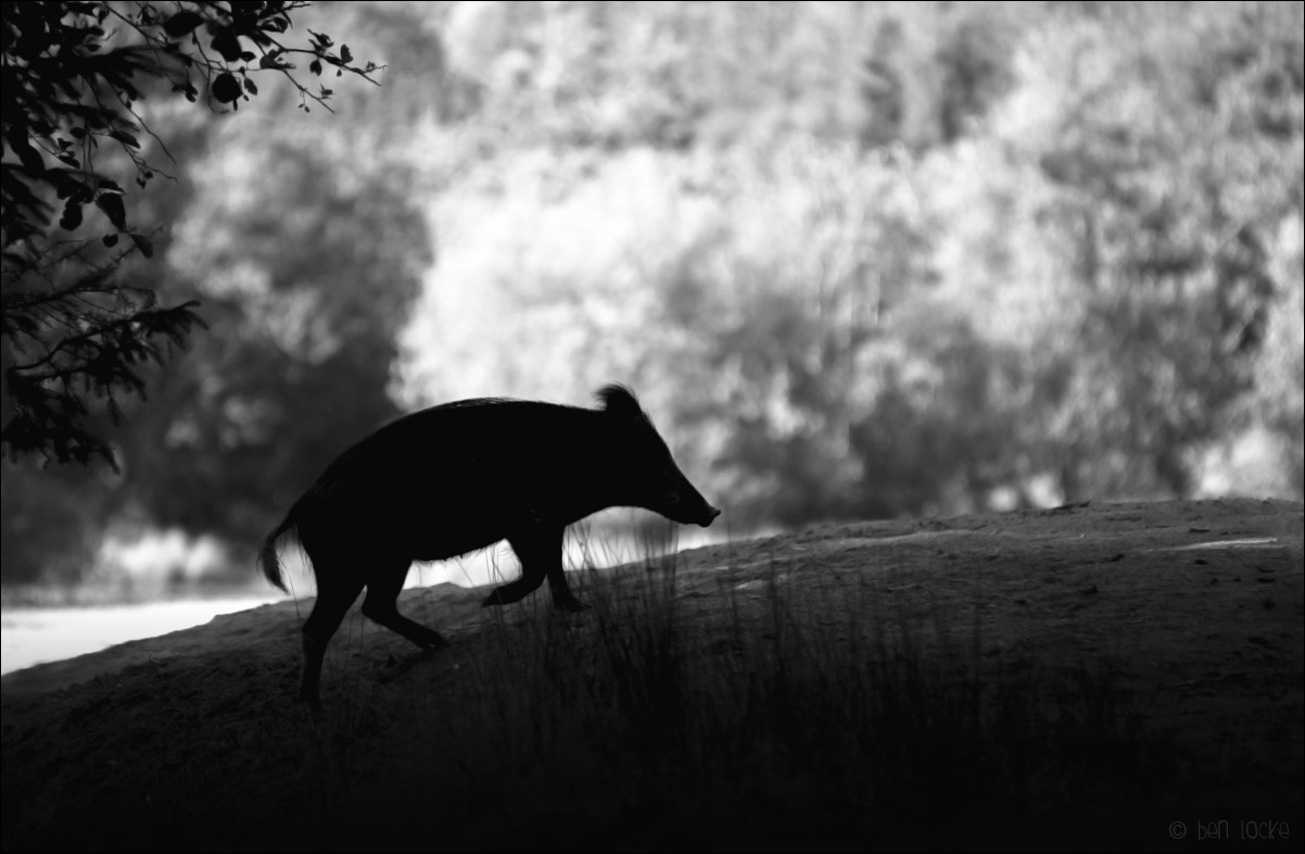 Photograph Wild Boar in silhouette by Ben Locke on 500px