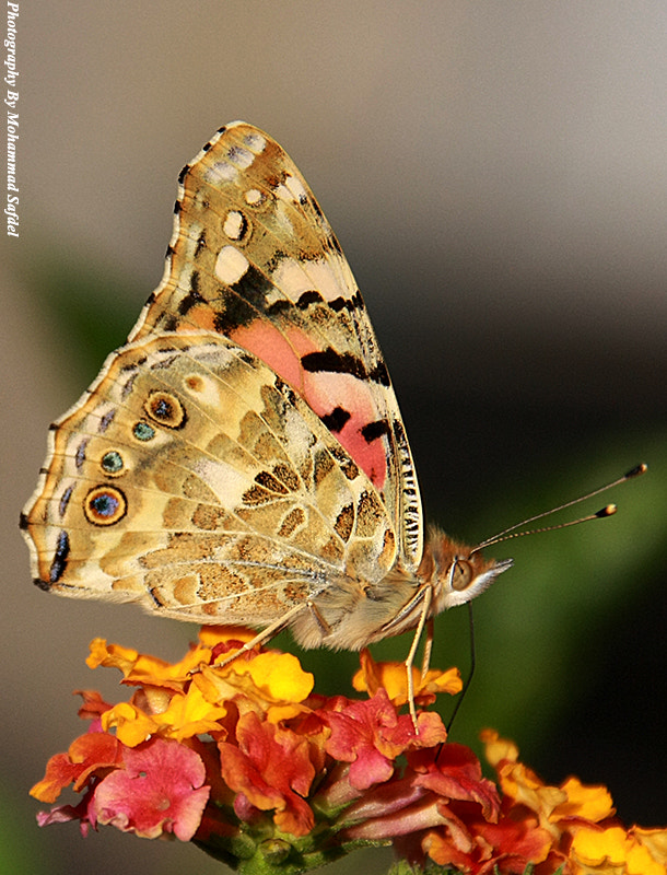 Photograph Butterfly's lunch by Mohammad Safdel on 500px