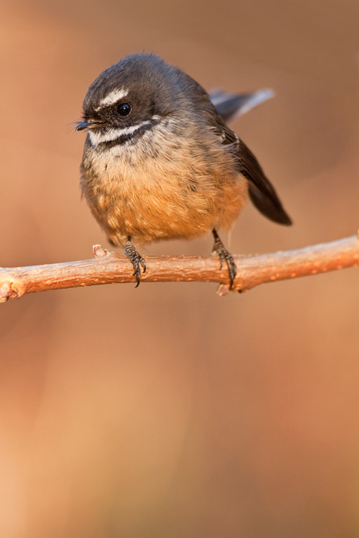 Photograph Fantail perching by Paul Sorrell on 500px