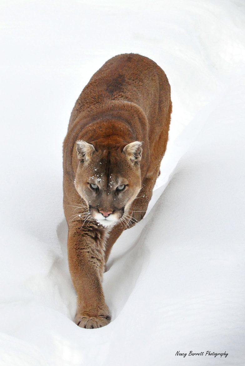 Photograph On the Prowl--Cougar by Nancy Barrett on 500px