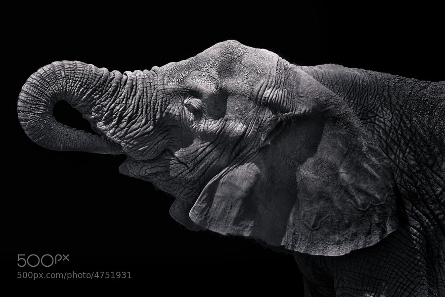 Photograph Elephant by Malcolm MacGregor on 500px