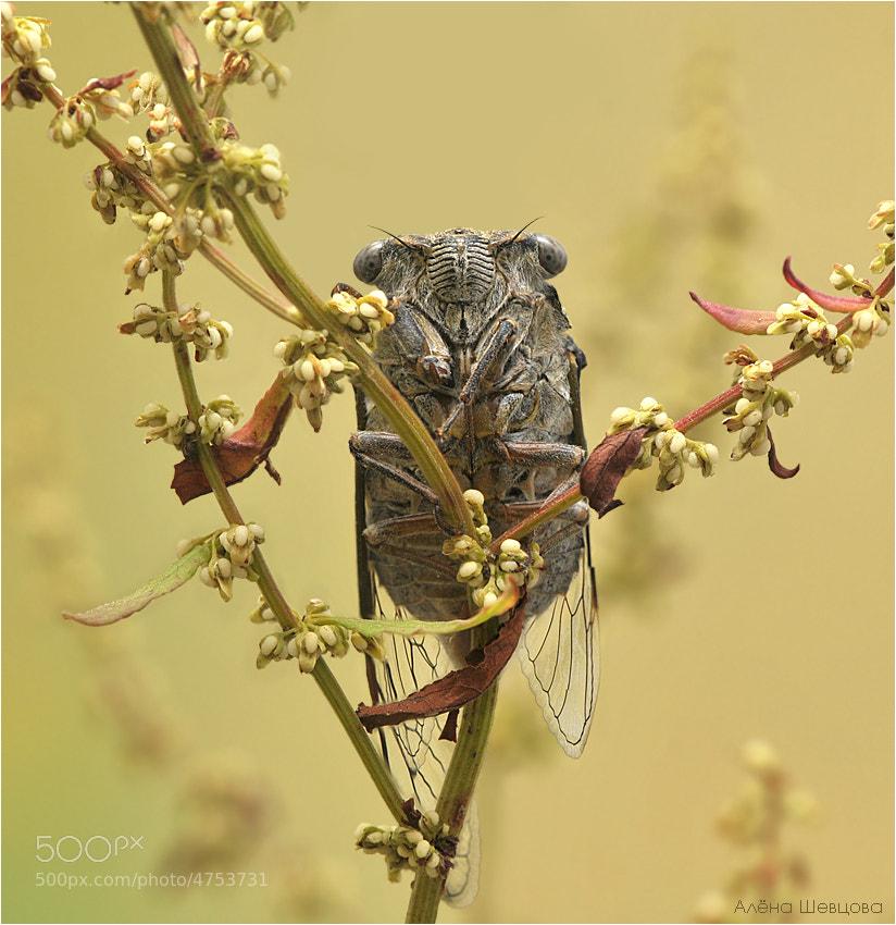 Photograph Cicadidae by Aliona Shevtsova on 500px