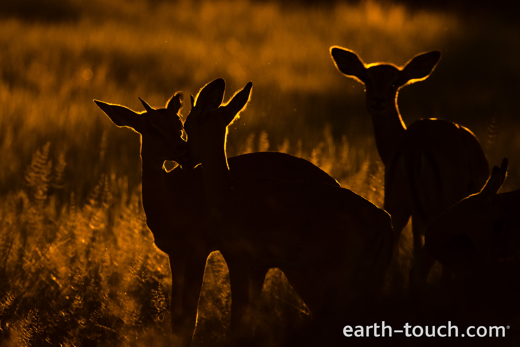 Photograph Illuminated Impala by Earth Touch on 500px