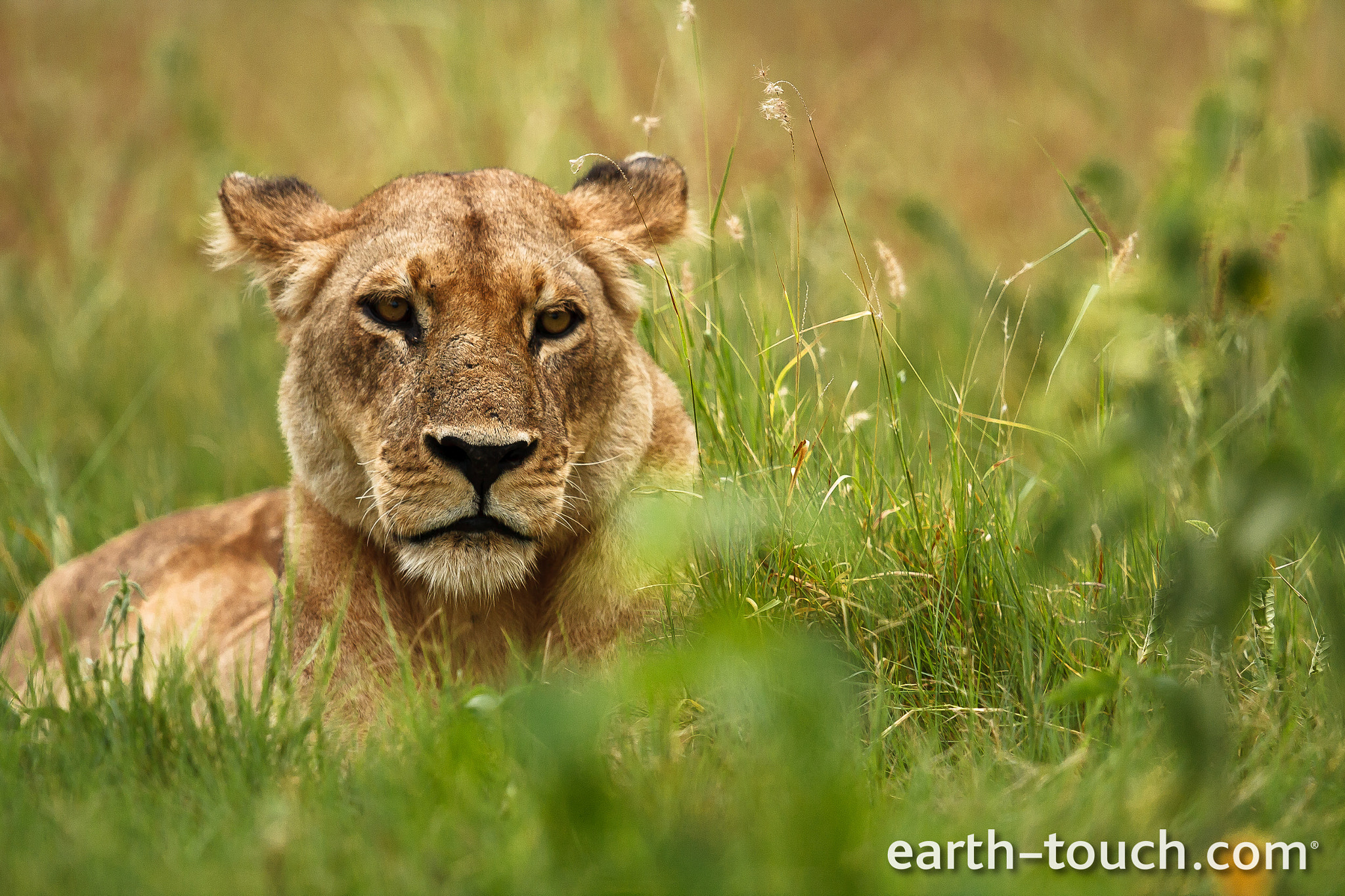 Photograph Grumpy lioness by Earth Touch on 500px