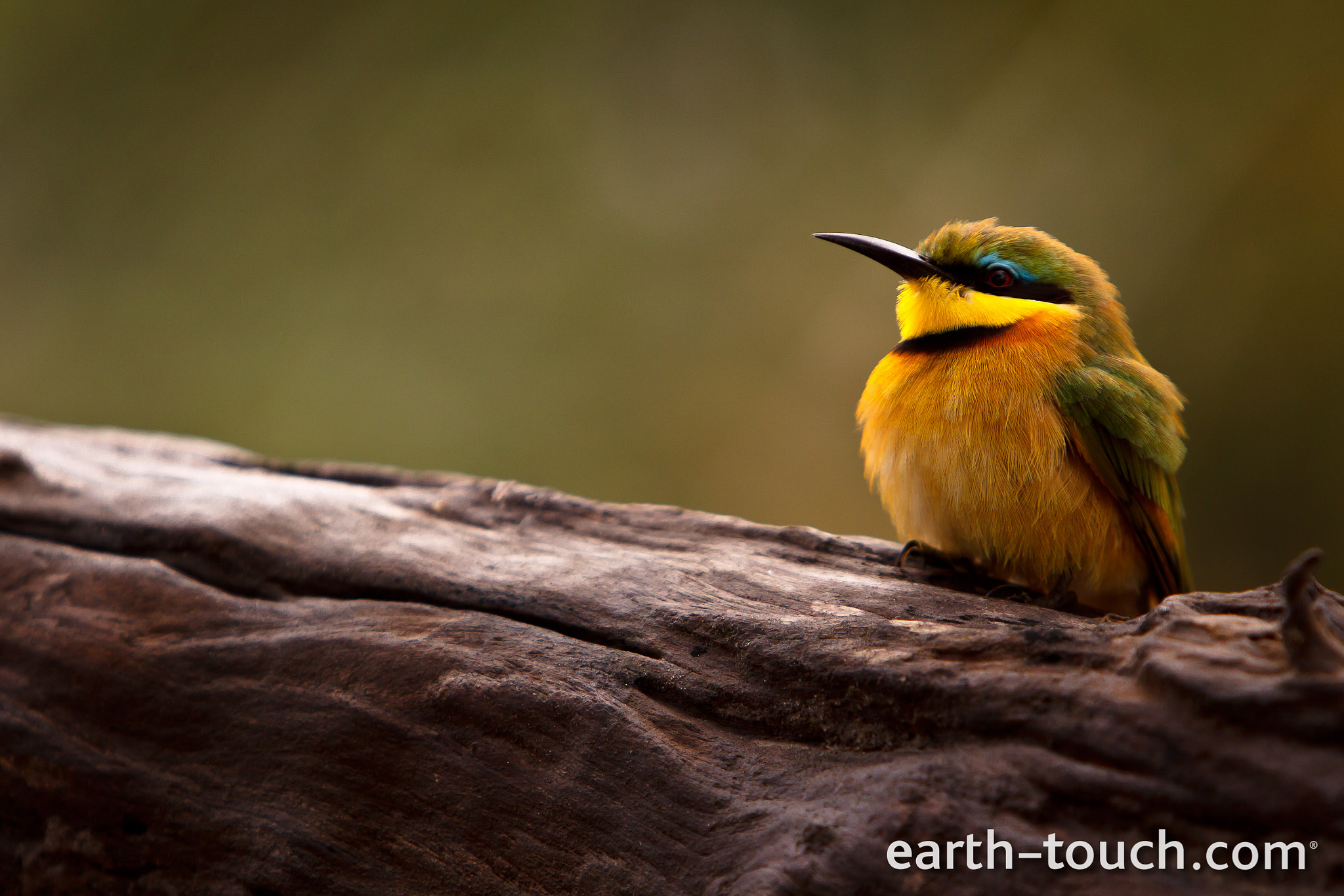 Photograph Little bee eater by Earth Touch on 500px