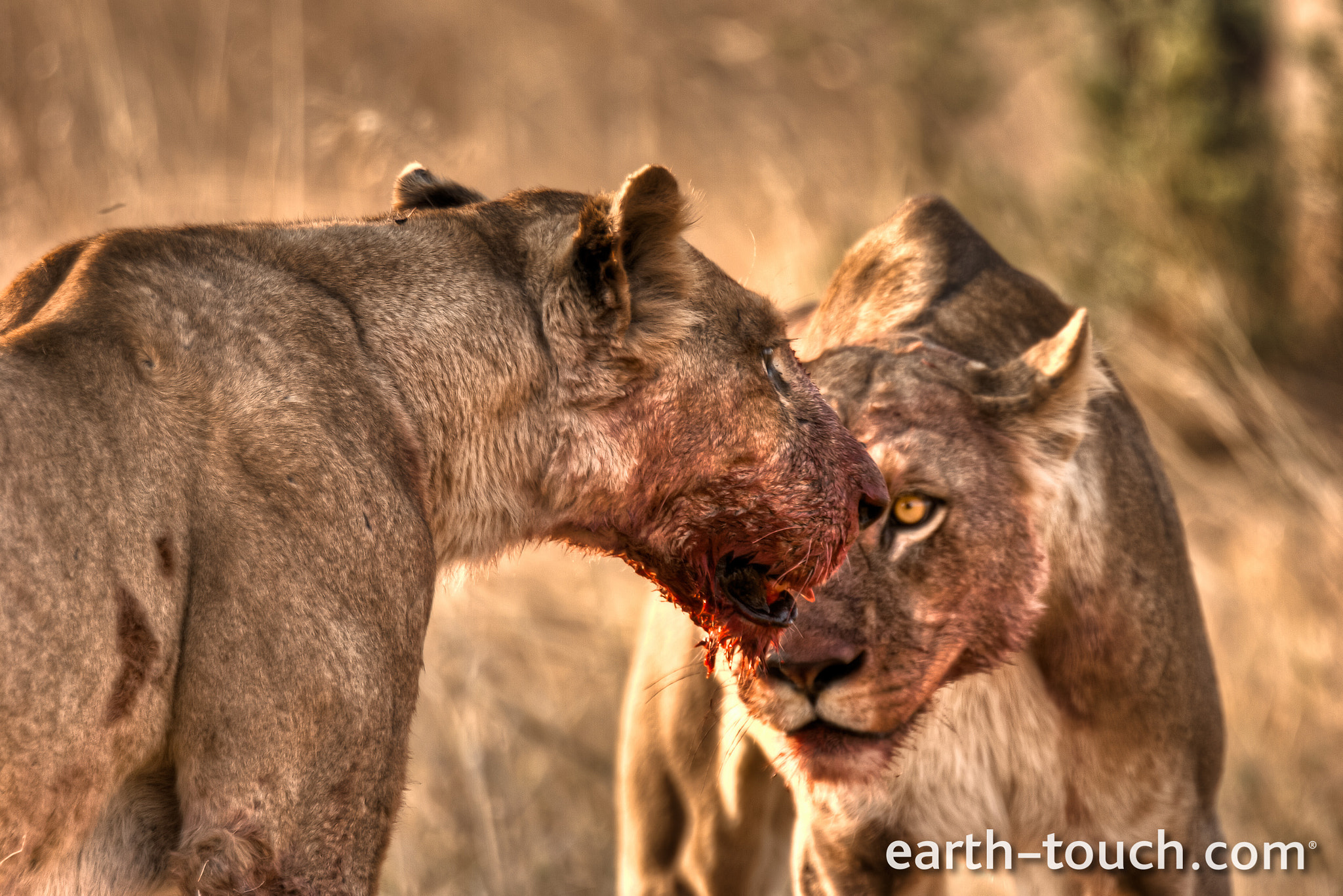 Photograph Hungry killer lions by Earth Touch on 500px