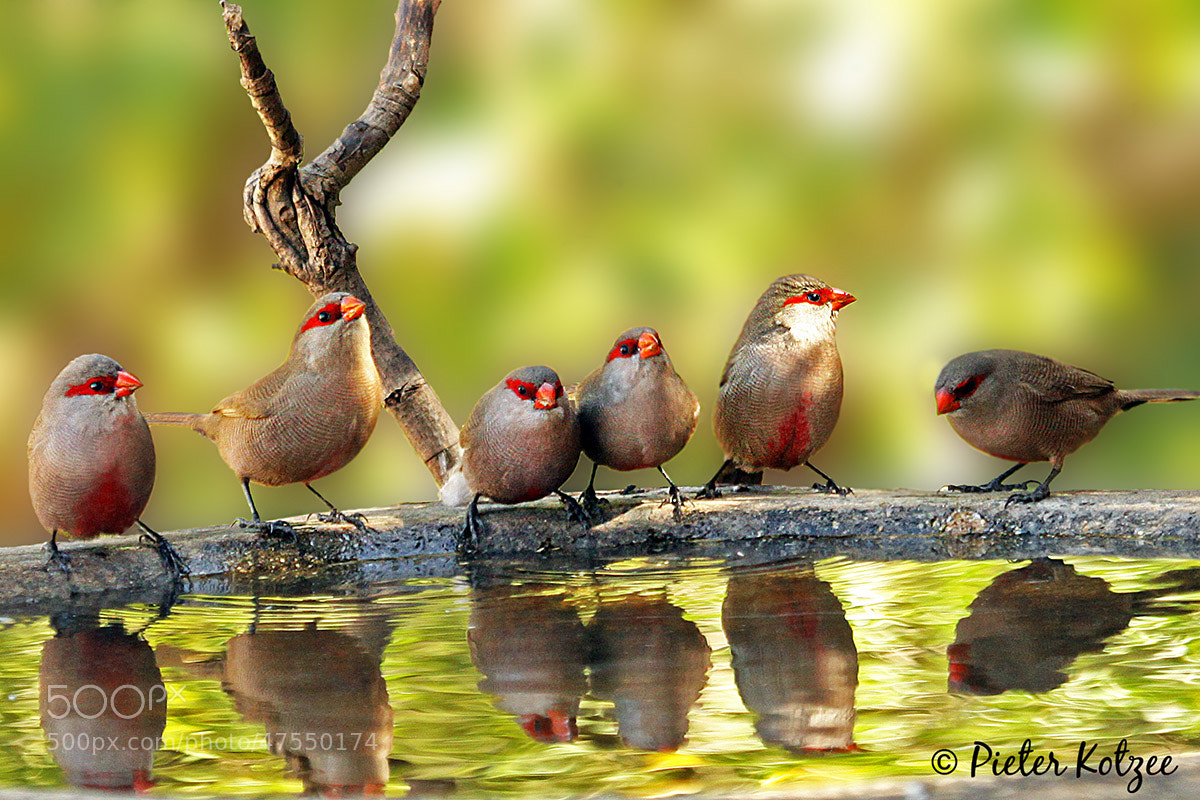 Photograph Common Waxbill by Pieter Kotzee on 500px