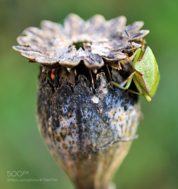 Photograph Poppy head by Heather Aplin on 500px